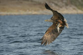 Av eagle — Stok fotoğraf