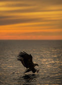 Eagle Hunting at Sunset — Stock Photo