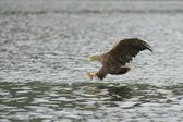 Eagle Hunting — Stock Photo