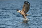 Hunting Eagle — Stock Photo
