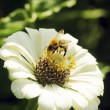 Bee collecting pollen on flower — Stock Photo