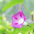 Bindweed — Stock Photo