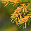 Flowering pine — Stock Photo