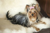 Yorkie cuir de cerf — Photo