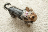 Yorkie on beige background — Stock Photo