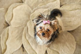 Yorkie sur fond beige — Photo