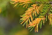 Flowering pine — Stock Photo