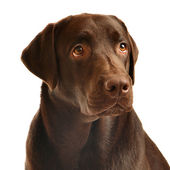 Chocolate labrador-portrait — Stockfoto