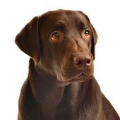 Chocolate labrador portrait — Photo