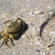Crab on the beach of the Black Sea — Stock Photo #14050977