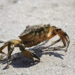 Crab on the beach of the Black Sea — Stock Photo #14198880