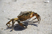 Crab on the beach of the Black Sea — Stock Photo