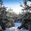 Stock Photo: Pines in winter forest