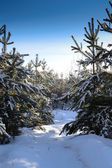 Pines in winter forest — Stock fotografie