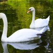 Two white swans float on water in park — Stock Photo
