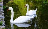 Deux cygnes blancs flottent sur l'eau dans le parc — Photo
