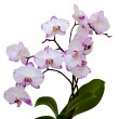 Orchid on white background — Stock Photo #24701861