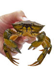 Crab in a hand on white — Stock Photo