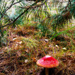 Red mushroom in a pine needles — Stock Photo #33147559
