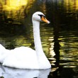 Mute Swan on water — Foto Stock