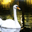 Mute Swan on water — Stock Photo