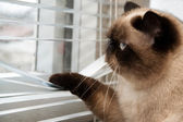 Cat looking outside through window blinds — Stock Photo
