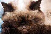 Cat sleeps having put paws under the head — Stock Photo