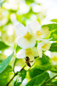 Jasmine and bee — Stock Photo