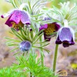 Pasque flower (pulsatilla) after rain — Stock Photo