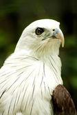 Brahmini Kite Eagle. — Stock Photo