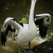 Stock Photo: Australian Pelican.
