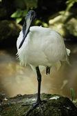 Zwarte hoofd ibis. — Stockfoto
