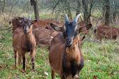 ヤギの草原 — ストック写真
