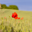 Stock Photo: Corn field with poppy