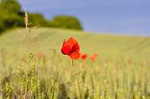 Кукурузное поле с маком — Стоковое фото