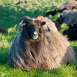 Sheep on meadow — Stockfoto