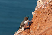 Guillemot on Helgoland cliff — 图库照片