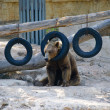 Bear with tire — Stock Photo