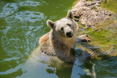 Bear in water — Stock Photo
