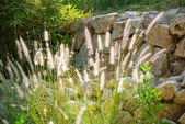 A back lit fountain grass — Foto Stock