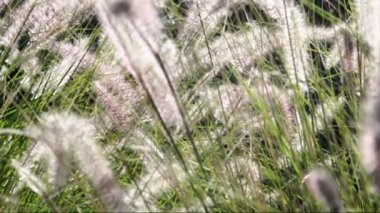 Ornamental grasses soak up the autumn sunshine. Pennisetum alopecuroides — Stok video