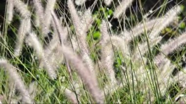Ornamental grasses soak up the autumn sunshine. Pennisetum alopecuroides — Stock Video