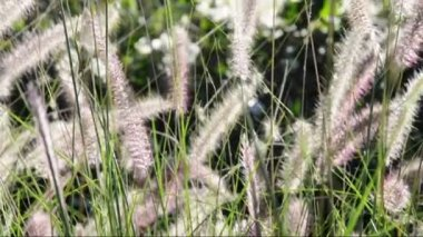 Ornamental grasses soak up the autumn sunshine. Pennisetum alopecuroides — 图库视频影像