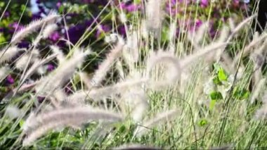 Ornamental grasses soak up the autumn sunshine. Pennisetum alopecuroides — Vídeo de stock