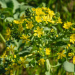 The blossoming branch of yellow flowers, Lion's foot flower — Stock Photo