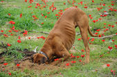 Digging dog,  thrust the head into a hole — Stock Photo