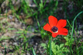 Red anemone flower — Stock Photo