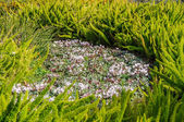 Spring cyclamen, gentle purple flowers  — Stockfoto