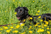 Black dog in a meadow of flowers — Stock Photo