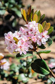 Macro shoot Flowers of blossoming pear, a sunny day — Stock Photo